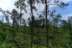 Tea plantation in up country, Badulla, Sri Lanka on 01.09.2020. Sri Lankan is world famous for high quality tea.