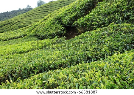 Tea Plantation, Malaysia - Cameron Highlands