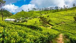 Tea plantation near Haputale. Sri Lanka.