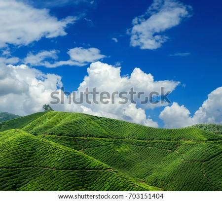 Tea plantation on a clear day