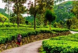 Tea plantation picker on the way to work in Haputale, Sri Lanka