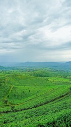 tea plantation scenary landscape view with hill and mountain background with the cloud