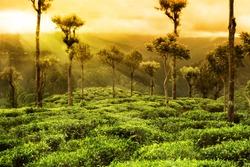 tea plantation sunset landscape