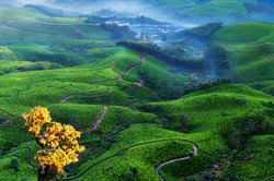 Tea plantation valley with fog early in the morning at sunrise. Munnar. Kerala. India