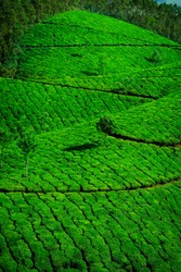 Tea plantation with green fresh leaves at Munar-India