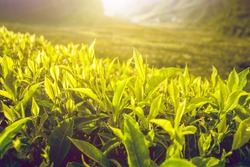 Tea plantation with tea leaves in sunshine. Nature background