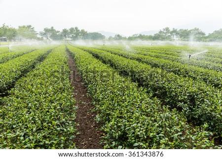 Tea plantation with water sprinkler system #361343876