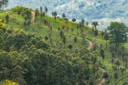 Tea plantations around Lipton's Seat / Haputale, Sri Lanka.