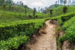 Tea plantations in mountains near Haputale, Sri Lanka