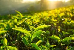 Tea plantations in Munnar, Kerala, India. Fresh tea leaves close up at tea plantation at sunrise