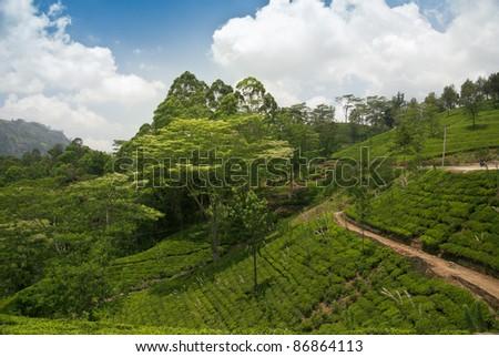 Tea plantations in Nuvara Ellia, Sri Lanka