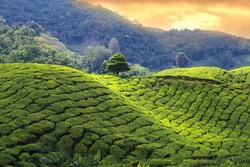 tea plantations sunset