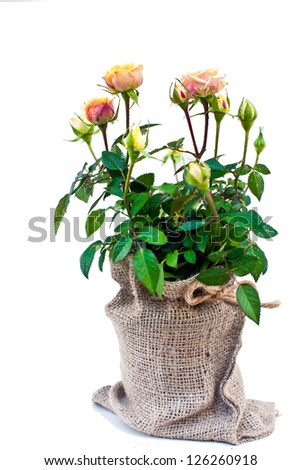 Tea Rose Flowers Pot isolated on white
