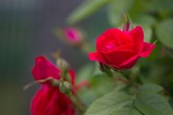 tea rose garden in the autumn in Belarus