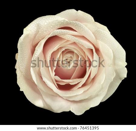 Tea rose head isolated on black