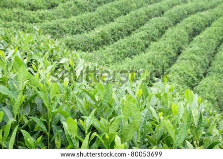 tea tree being grown in the plantation