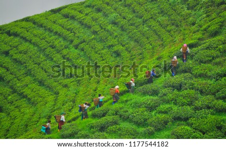 Tea workers plucking tea leaves at Tingling view point near Mirik. #1177544182
