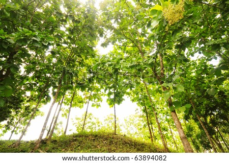 Teak  forest with tall trees on top of a hill and the sun shining through.