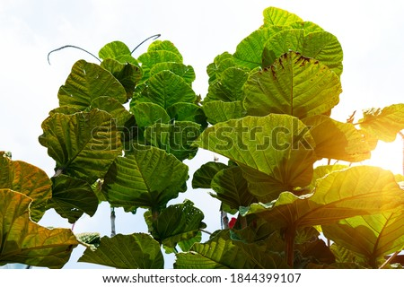 Teak or Sagwan Tectona grandis leaf,it grows in lowland tropical rain forest.Green leaves plant with isolated white background.Popular planted in the tree forest, Woody plant with sunlight .