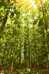 Teak tree agricultural in plantation teak field plant with green leaf /  sunlights forest of fresh green deciduous trees framed by leaves with the sun warm rays through the the foliage