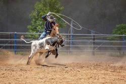Team calf roping is a popular rodeo event, a sport sanctioned by Australian Team Roping Australia