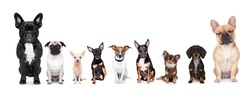 team group row of dogs taking a selfie isolated on white background, smile and happy snapshot