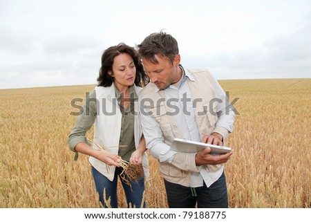 Team of agronomists analyzing wheat cereal in field