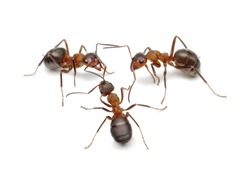 team of ants connecting with antennas to make network for finding solution or making work, common behaviour