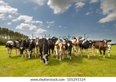 Team of Dutch cows