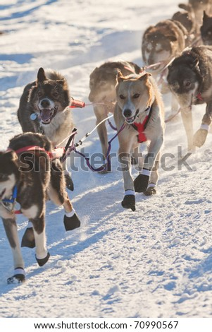 Team of enthusiastic sled dogs pulling hard to win the sledding race.