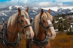 Team of matching Belgian draft horses in harness ready to be hitched to a wagon