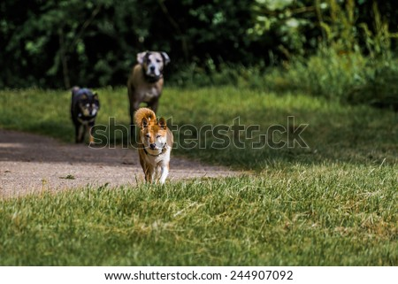 Team of three dogs in park with trees looking angry \ Leader dog part of a team of three dogs in park looking angry , dark green trees in background