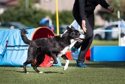Teamwork of fast running human in special football boots and crazy furious teammate purebred border collie dog. Dog sport agility outside competition performing slalom pools by working collie