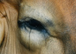 Tears of the cow that are about to be taken to the dong to kill the animals