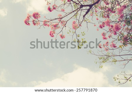 Tebebuia Flower on sky background , vintage retro style