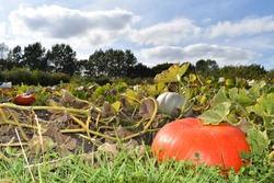 Technically a fruit pumpkins are a winter squash in the family Cucurbitaceae which includes cucumbers and melons Every single part of the pumpkin is edible the skin leaves flowers pulp seeds and stems
