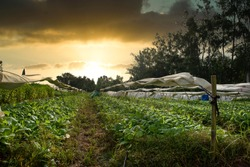 Techniques for growing tobacco plants in agriculture specifically for drought-affected areas. Modern agriculture. New innovations in agriculture. The plant is covered with white cloth