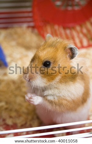 Teddy bear hamster being cute in cage with wheel in background