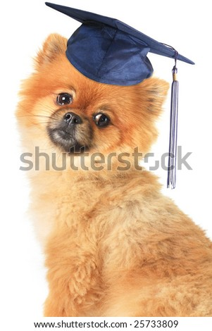 Teddy bear Pomeranian wearing a mortar board.