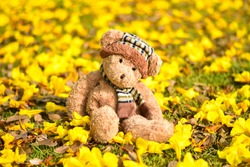 Teddy Bear sitting in the garden with yellow flower fall background. Concept about loneliness. Teddy bear doll toy on yellow flower background. TEDDY BEAR brown color with scarf on the yellow flower