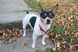 Teddy Roosevelt Rat Terrier Male puppy on Sidewalk steps in Autumn