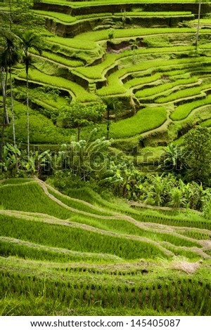 Tegallalang, Bali Rice Terraces. Some of the most dramatic and beautiful rice fields can be found at the village of Tegallalang, not far from Ubud, the cultural capital of Bali, Indonesia.