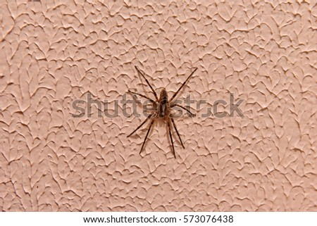 Tegenaria domestica or Barn funnel weaver, spider of the houses, belongs to the family of Agelenidae. It is on a domestic wall