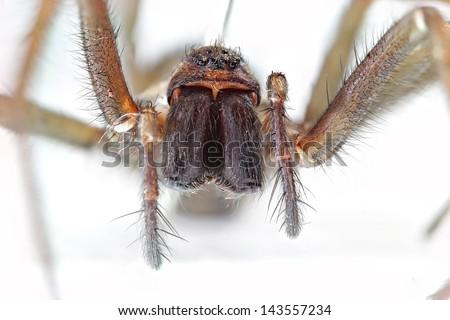 stock-photo-tegenaria-gigantean-or-giant-house-spider-143557234.jpg