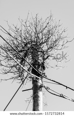 Telephone pole with a vine and numerous dry branches on top.