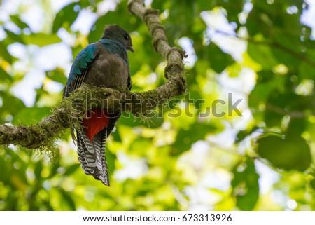 Telephoto of Resplendent Quetzal on tree branch in Bajos del Toro, Costa Rica