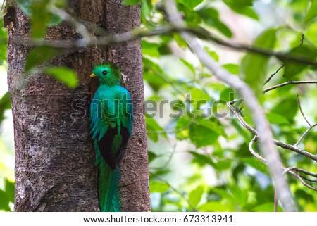 Telephoto of Resplendent Quetzal on tree in Bajos del Toro, Costa Rica