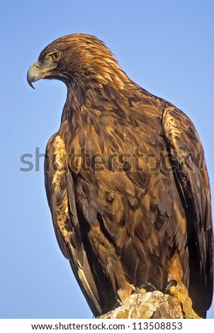 Telephoto portrait of a golden eagle.Photographed on his roost in Montana