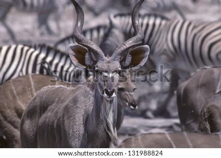 Telephoto shot of a greater kudu at a Namibia waterhole