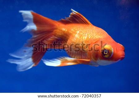 Eye Telescope Telescope Eye Goldfish